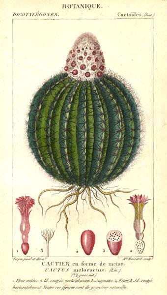 A Cactus melocactus színes nyomata