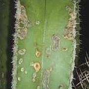 Phoma torrens vírus fertőzés
