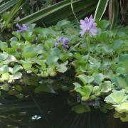 A vízi jácintok is virágoztak.