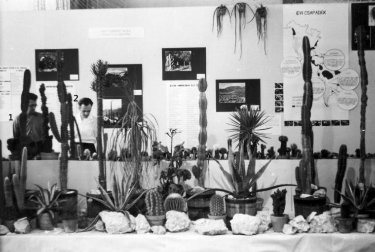 1. Szilágyi István és 2. Hubai István az 1971-es kiállításunk rendezése közben. A paravánon a kaktuszok területi felosztása, a középső tábla az Észak-amerikai kaktuszokat ismerteti. A jobb oldali tábla az évi csapadékot mutatja be a teljes amerikai kontinensen.(fm)