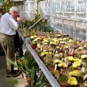 Notocactusok virágözöne.